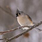 Tufted Titmouse in Winter by MattMasterson