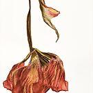 Tulip Drop by Ann Garrett