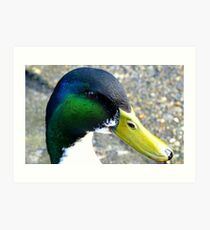 I'm back - Mallard Duck - Invercargill - New Zealand Art Print