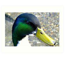 I'm back - Mallard Duck - Invercargill - New Zealand Art Print