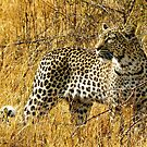 Leopard on the prowl by Linda Sparks