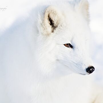 Arctic Fox by Photograph2u