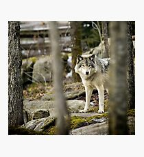Timber Wolf Between the Trees Photographic Print