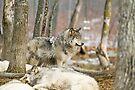 Watchful Timber Wolf by Yannik Hay