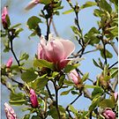Magnolia blossoms by debfaraday