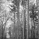 Tall Pines along the Pine River 2 BW by marybedy