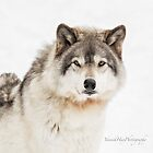 Timber Wolf in Snow by Yannik Hay