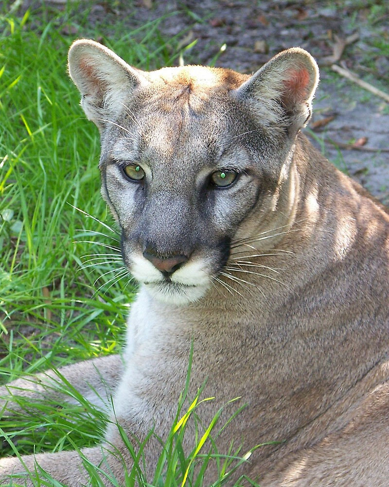 Florida Panther by Zooguy