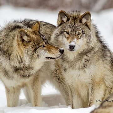 Love you sweetie... - Timber Wolves by Photograph2u