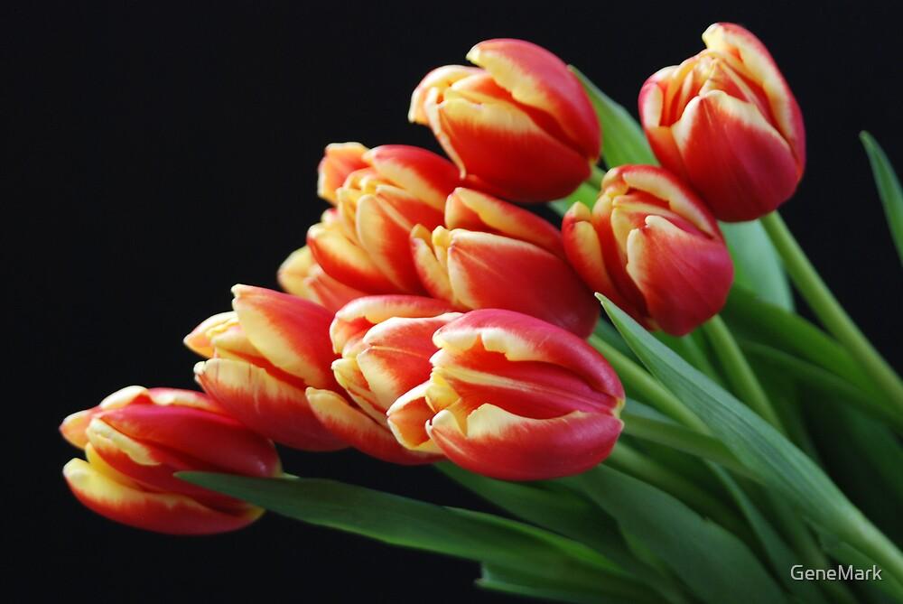 Red-Yellow Tulips by GeneMark