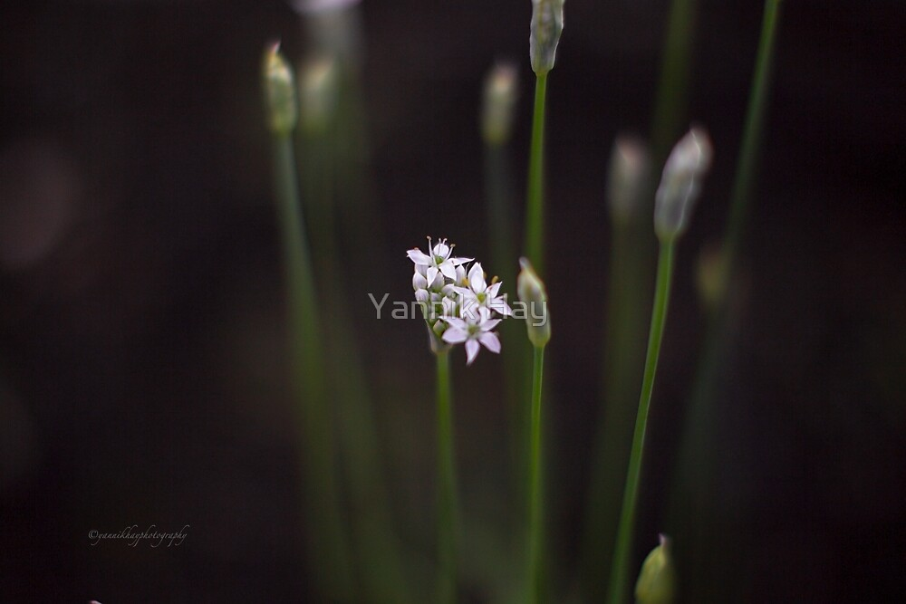 Chives Flowers by Yannik Hay