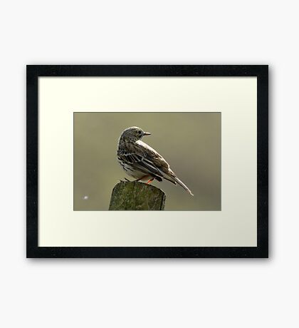 Meadow Pippit Framed Print