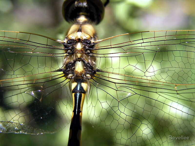Dragonfly Macro by Bevellee
