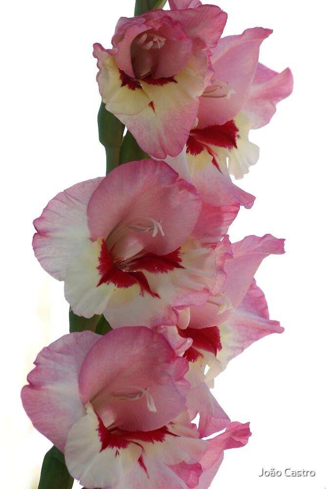 Pink flower 7325 by João Castro