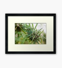 Cannabis flower and leaves  Framed Print