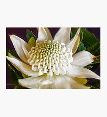 White Waratah Flower Photographic Print