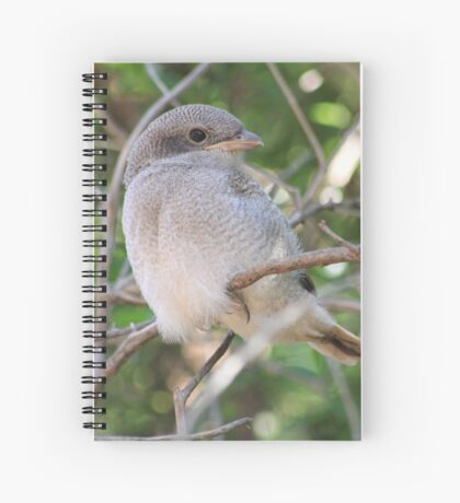 Fiscal Shrike Fledgling - One of four Spiral Notebook
