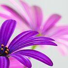 purple and pink flower power by JOSEPHMAZZUCCO