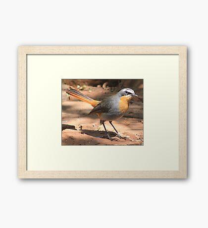 Cape Robin giving me the eye Framed Print