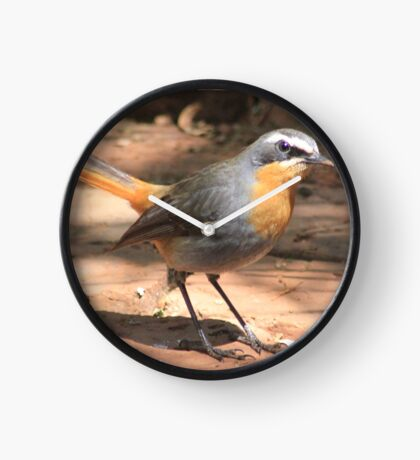 Cape Robin giving me the eye Clock