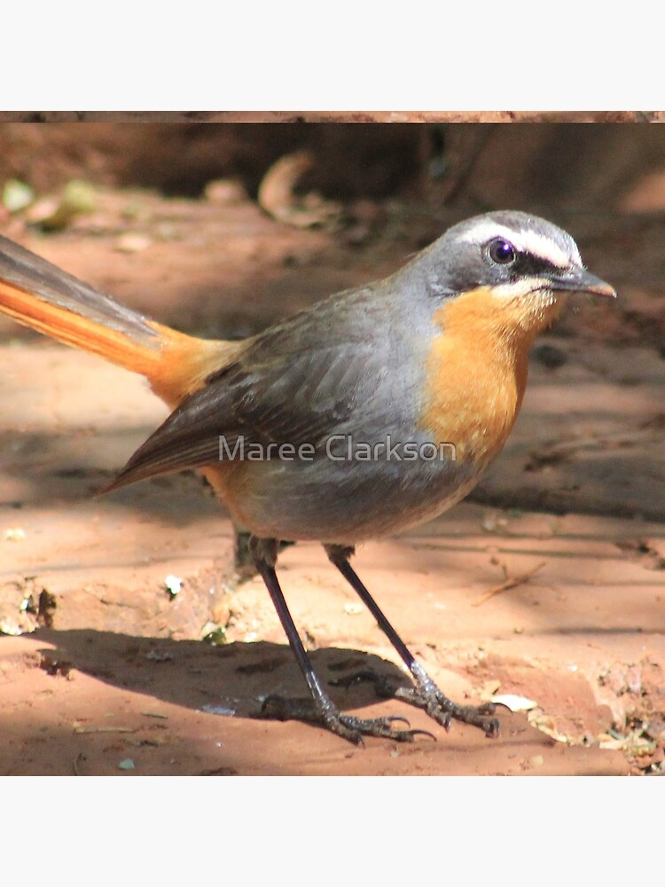 Cape Robin giving me the eye by MareeClarkson