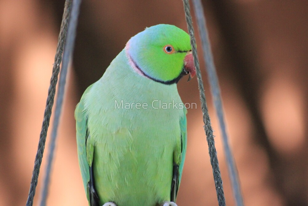 Indian Ringneck Parrot in my garden by Maree Clarkson