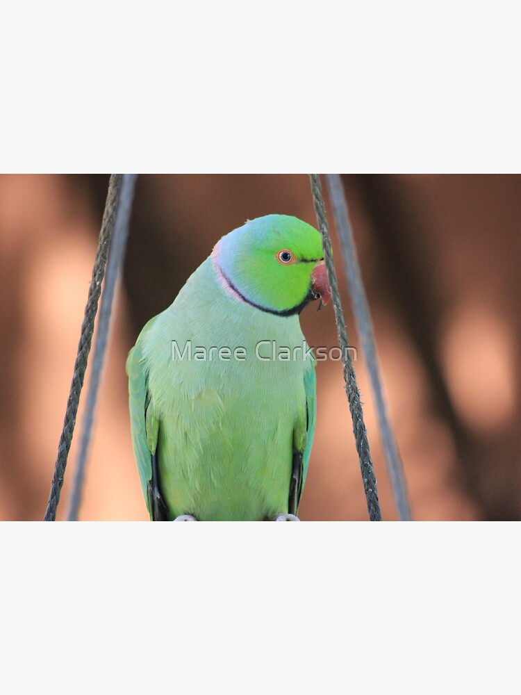 Indian Ringneck Parrot in my garden by MareeClarkson