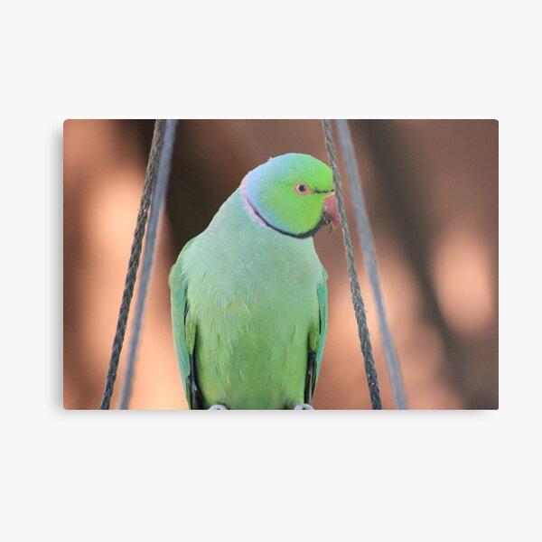 Indian Ringneck Parrot in my garden Metal Print