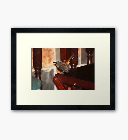Robin in my house Framed Print