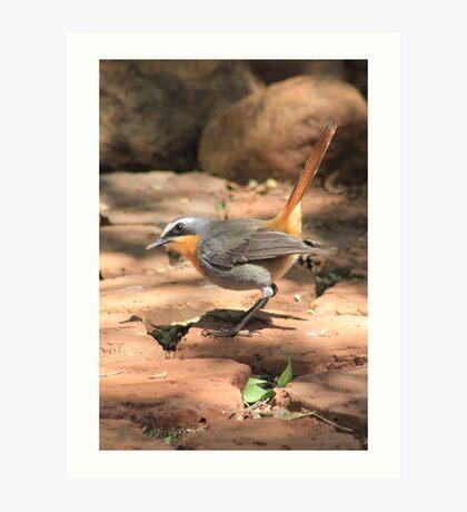 Cape Robin (Cossypha caffra) Art Print