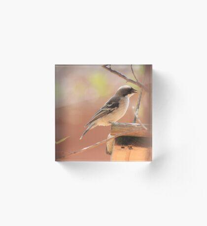 White-browed Sparrow Weaver (Plocepasser mahali) Acrylic Block