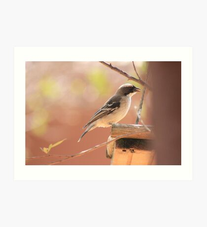 White-browed Sparrow Weaver (Plocepasser mahali) Art Print