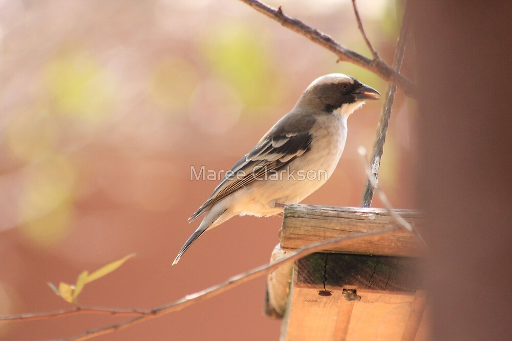White-browed Sparrow Weaver (Plocepasser mahali) by Maree Clarkson