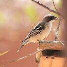 White-browed Sparrow Weaver (Plocepasser mahali) by Maree Clarkson
