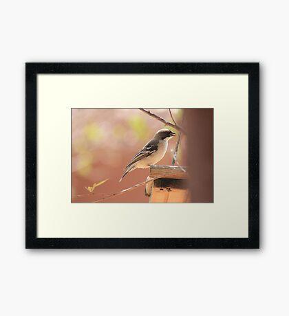 White-browed Sparrow Weaver (Plocepasser mahali) Framed Print