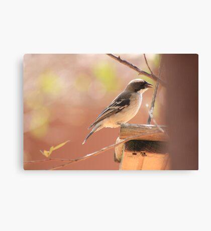 White-browed Sparrow Weaver (Plocepasser mahali) Canvas Print