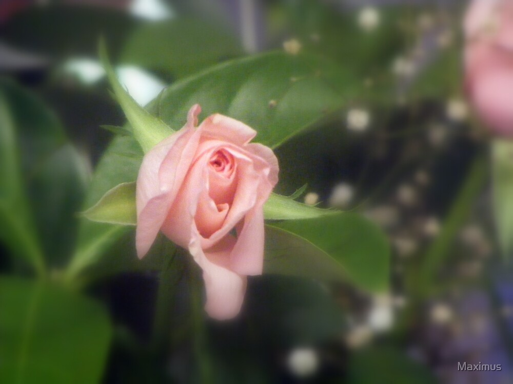 Birthday Rose by Maximus
