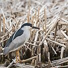 Black-crowned Night Heron 2017-1 by Thomas Young