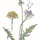 Taraxacum officinale (Dandelion) - Botanical illustration by Maree Clarkson