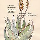 Aloe vera (A. barbadensis) - Botanical illustration by Maree Clarkson