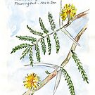 Acacia karroo - Botanical illustration by Maree Clarkson