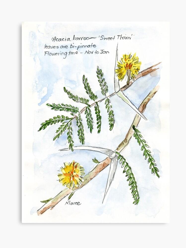 Acacia Karroo Botanical Illustration Canvas Print