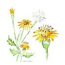 Dandelions (Perdeblom) - Botanical illustration by Maree Clarkson
