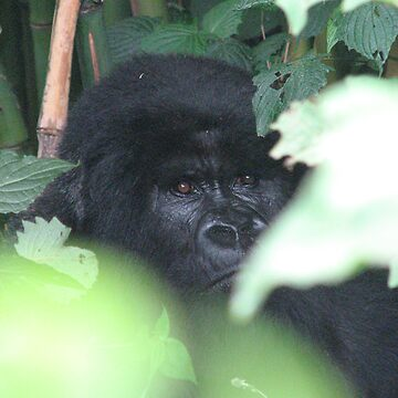 Mountain Gorillas by Rhona