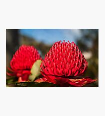 Huge red Waratah flowerheads in spring Photographic Print