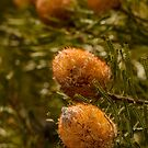 Banksia WA01 by Werner Padarin