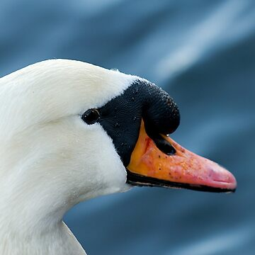 Swan by fljac