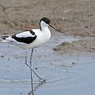 Avocet by Robert Abraham