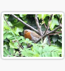 Contented Robin Red Breast Sticker