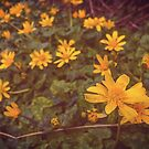 Lesser Celandine Yellow Flowers in Wales by Yvie Johnson